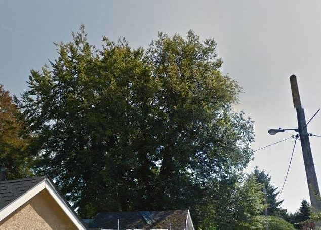 The now-gone tree in 2011, looking pretty happy. (ripped from Google Street View, no permission requested)